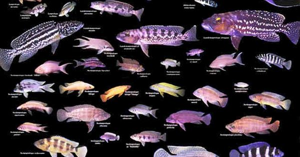 exploring the evolution of cichlids in lake tanganyika essay Abstract supported by evidence for assortative mating and polygynandry, sexual selection through mate choice was suggested as the main force driving the evolution of colour diversity of haplochromine cichlids in lakes malawi and victoria.