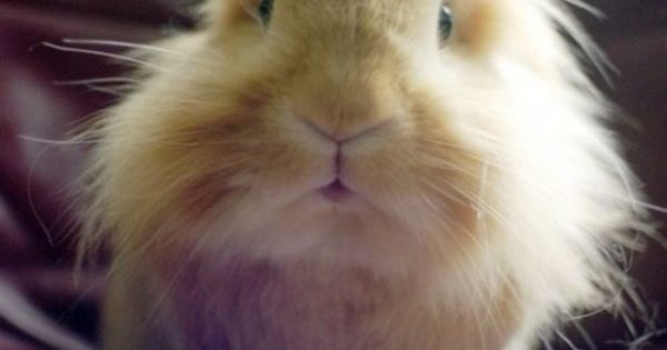 bahaha crazy haired rabbit...I think...maybe it's a guinea pig!?