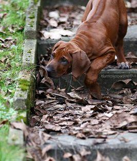 Pin Von Karin P Auf Hunde In 2020 Rhodesian Ridgeback Ridgeback Welpen Hunde
