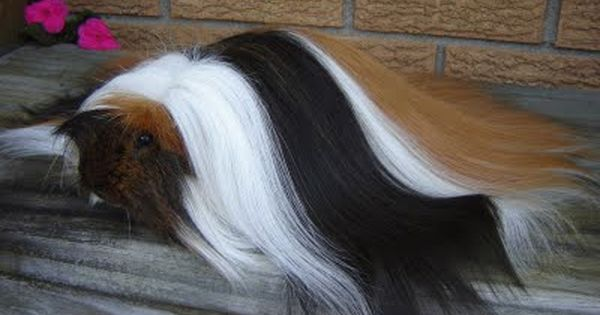 Once called the Angora, the Peruvian guinea pig breed has a coat