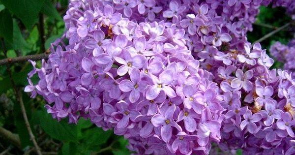comment faire une bouture de lilas truc de grand m re cultiver bouturer multiplier semer. Black Bedroom Furniture Sets. Home Design Ideas