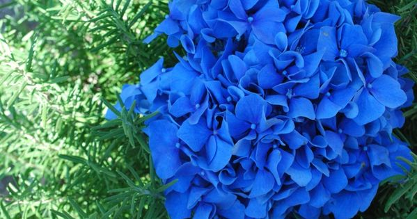 hortensie pflege blaue hortensien hydrangea hortensie. Black Bedroom Furniture Sets. Home Design Ideas