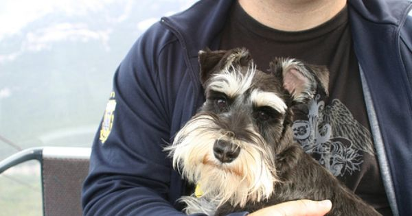 Mini Schnauzer A Man And His Dog This Man Is Holding A Super Darling Black And Silver Mini What A Beautiful Dog Minature Schnauzer Beautiful Dogs Schnauzer