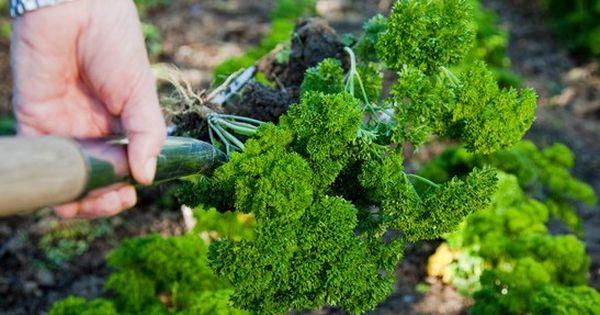 Persil plantation entretien et r colte herbes aromatiques pinterest - Quand repiquer le persil ...