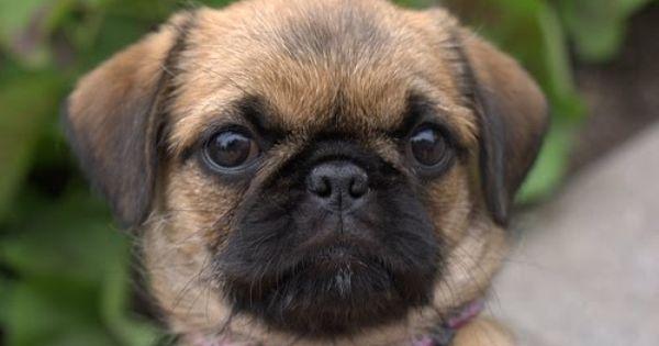 Pug And Shih Tzu Pug Zu Pug Mixed Breeds Pug Mix Mixed Breed Dogs