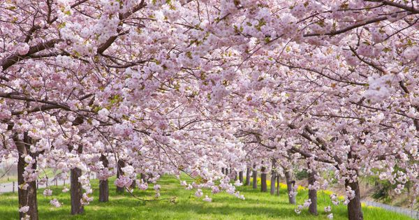 Cherry Blossom Tree Facts That You Definitely Never Knew Before Cherry Blossom Season Cherry Blossom Cherry Blossom Tree