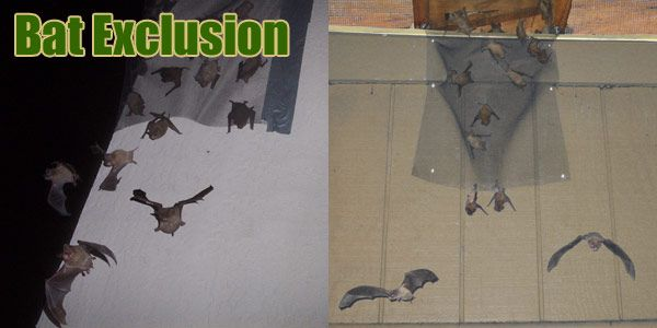 Bats In The Attic How Do You Get Bats Out Of The Attic Bat Bats In Attic Getting Rid Of Bats