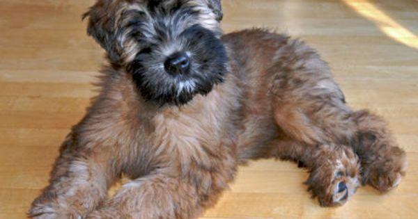 Norfolk Terrier Dog Norfolk Terrier Puppies Norfolk Terrier Terrier Dogs