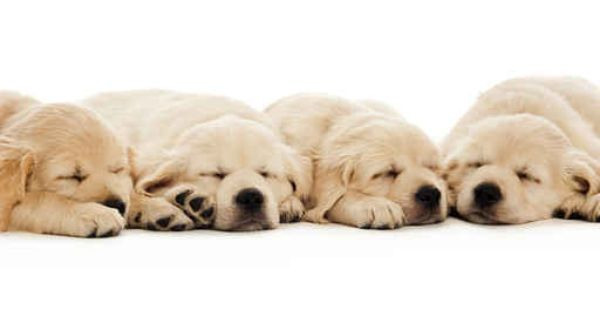 Golden Retriever Puppies Isolated On A White Background Wall Decal Domestic Dog Puppies