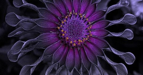 the perfect blossom for the person with a serious purple passion