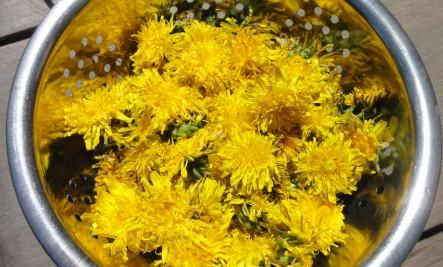 Dandelion Flower Syrup Recipe Is Delicious Real Food Recipes Syrup Recipe Herbal Recipes