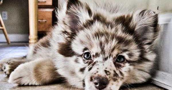 Pomeranian & Australian Shepard mix @Benjamin Shewan i want this doggy