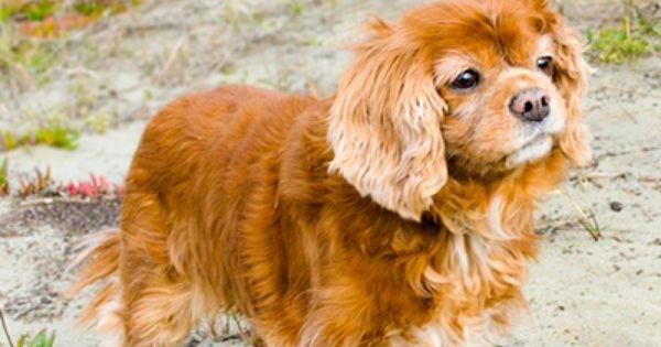 Lillybelle In Santa Rosa Ca Cavalier Rescue Cavalier Cavalier King Charles