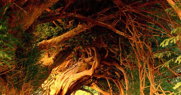 1000 Year Old Yew Tree, West Wales photo by annicariad