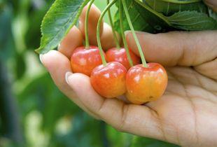 Rainier Cherry Trees White Cherries Rainier Cherries Cherry Tree Varieties Fruit Trees
