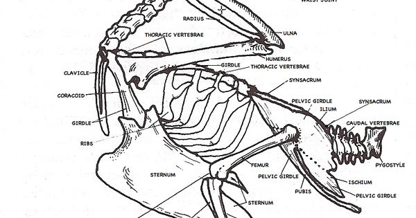 pigeon dissection diagram pictures to pin on pinterest