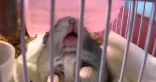 This Is What A Angry Hamster Sounds Like It S So Funny Hamster