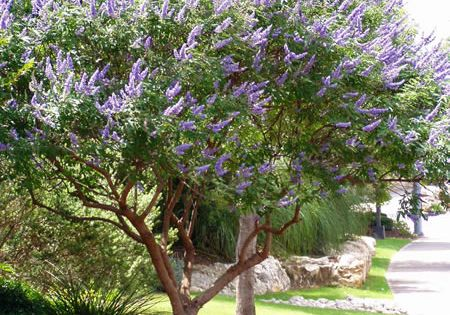 Native plant, the Texas Lilac (Vitex). They are hardy, drought tolerant, and