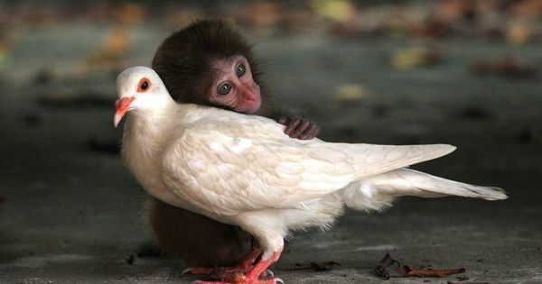 A baby monkey cuddling with a white dove.