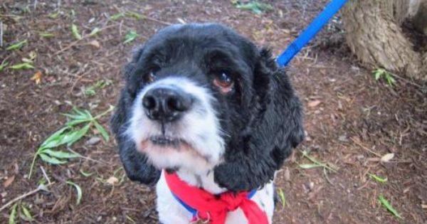 Adopt Oskar On Small Dog Adoption Dogs Cocker Spaniel Dog