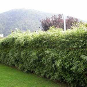 Photo De Haie Bambous Fargesia Kit De 2 A 30 Metres Fargesia