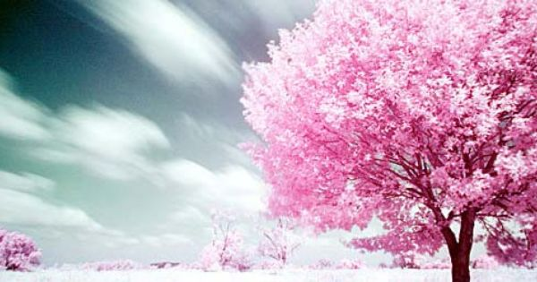 Beautiful Trees Http Www Designzzz Com Beautiful Trees Photography Cherry Blossom Tree Tree Photography Cross Paintings