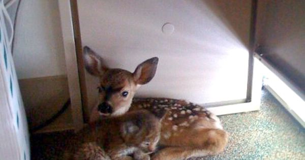 This fawn and bobcat were found in an office together, cuddling under