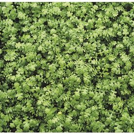 Product Image 1 Ground Cover Lawn Alternatives Shade Plants