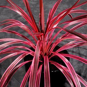 Cordyline Australis Sunrise Pp20 634 At San Marcos Growers Plants Patio Plants Low Water Plants