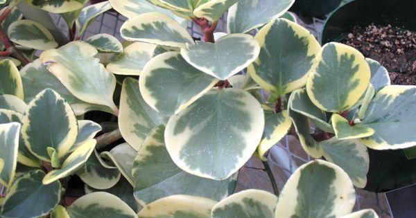 Peperomia oblusifolia 'Variegata' OR Common Name ...