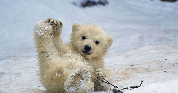 Este filhote de urso polar de 4 meses brincava na neve no