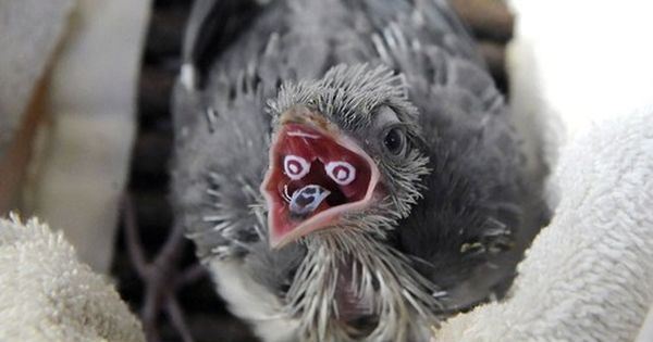 WTF?????? Crested Coua chicks develop unique markings on the inside of their