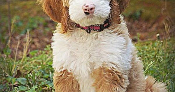 sunny day my sweet goldendoodle goldendoodle dogs and puppies pinterest sunnies dog. Black Bedroom Furniture Sets. Home Design Ideas