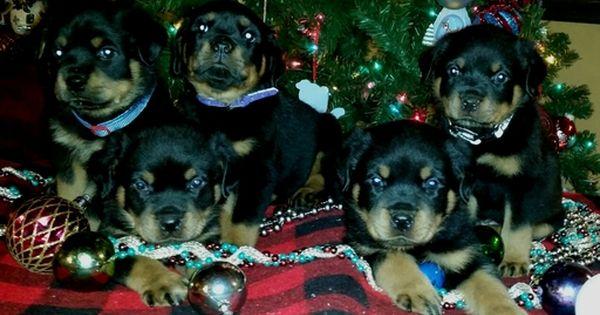 Rottweiler Puppy For Sale In Spring Hill Fl Adn 33646 On Puppyfinder Com Gender Male Age 10 Week Rottweiler Puppies For Sale Rottweiler Puppies Rottweiler