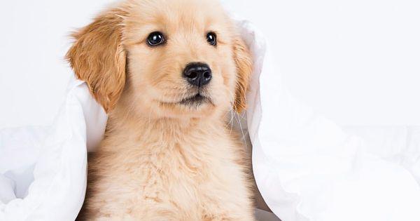 A Cute Little Golden Nugget Baby Dogs Cute Puppies Golden
