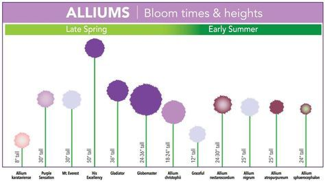Allium Sizes Allium Flowers Longfield Gardens Garden Bulbs