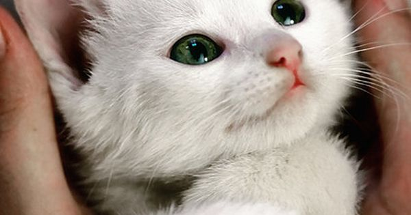 Adorable white kitten with green eyes