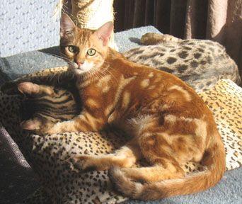 Kingsmark Bengals Serengeti Cats Bengal Cat Brown Cat Orange