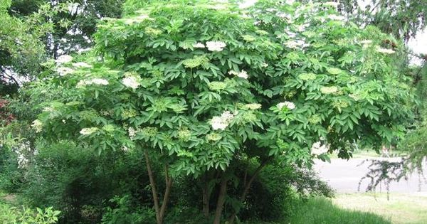 Bez Czarny Uprawa Bzu Czarnego W Ogrodzie Plants