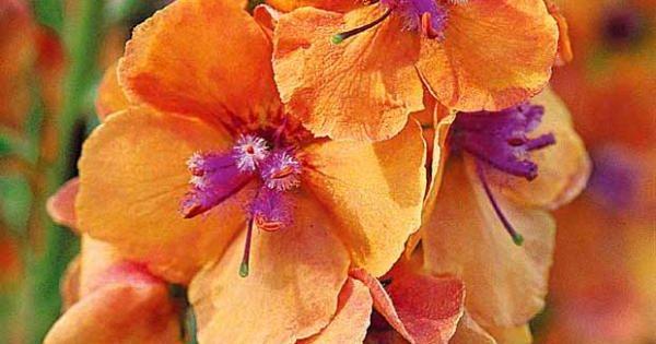 Mol ne 39 cl mentine 39 est une plante tr s color e qui for Plante 6 mois