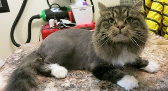 Cat Grooming Styling Options And Photos The Cat S Pyjamas Cat Grooming Cat Grooming Tools Long Haired Cats