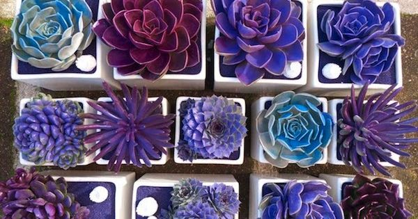 Prefer your succulents in shades of blue? Add 1 tsp. of liquid