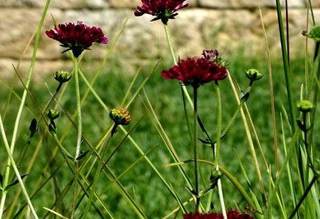 Witwenblume Mars Midget Knautia Macedonica Mars Midget Gunstig Online Kaufen Pflanzen Bestellen Einjahrige Pflanzen Blumen