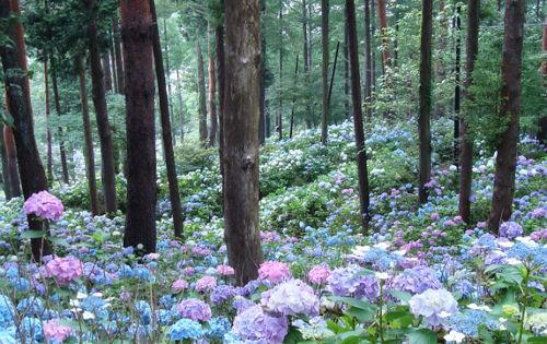 Hydrangea Forest, Japan - trees and flowers