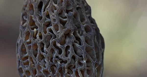 Morchella rielana, grey morel mushroom