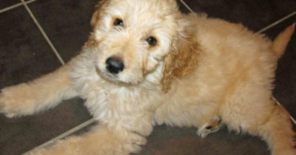 Trixie The Goldendoodle Goldendoodle Puppies Jack Russell Terrier