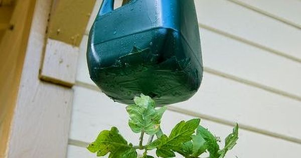 Diy Hanging Tomato Planter By Brian Searle On Flickr 640 x 480