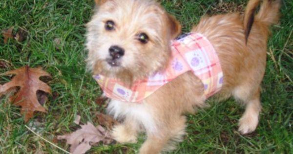 Adopt Minnie On Norfolk Terrier Terrier Mix Dogs Cairn Terrier