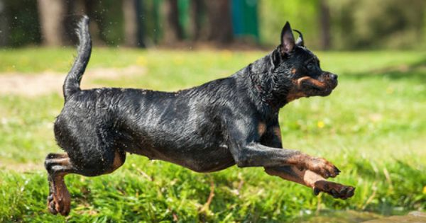 Top 10 Dog Breeds With The Shortest Lifespan Top 10 Dog Breeds Dog Breeds