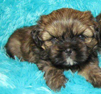 Shih Tzu Coat Colors Shih Tzu Shih Tzu Puppy Labrador Retriever Puppies